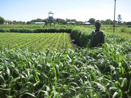 Mulato II grass seed field (photo courtesy tropseeds.com)