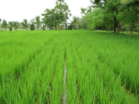 Nariva land for rice cultivation
