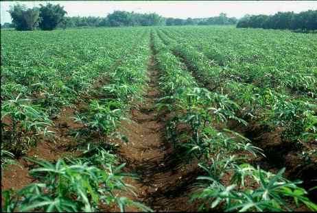 cassava_plantation